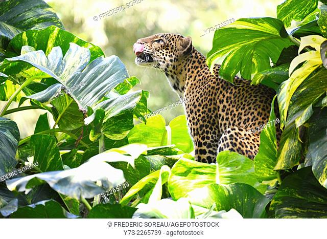 A Javan leopard at the Bali Safari Park, Indonesia, South East Asia