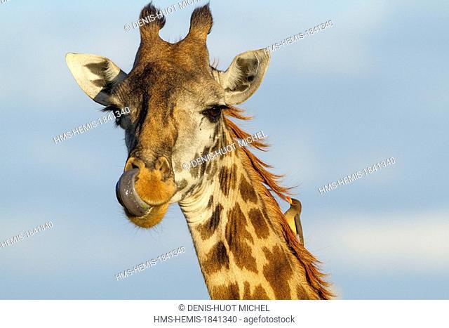 Kenya, Masai-Mara game reserve, Girafe masai (Giraffa camelopardalis), feeding with an oxpecker on the neck