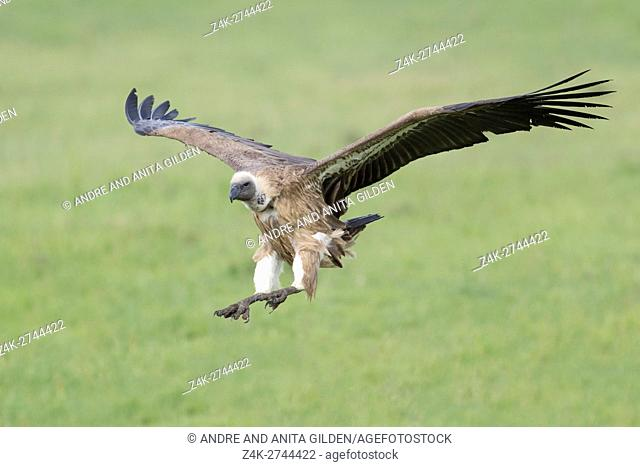 White-backed vulture (Gyps africanus) flying, Maasai Mara National Reserve, Kenya