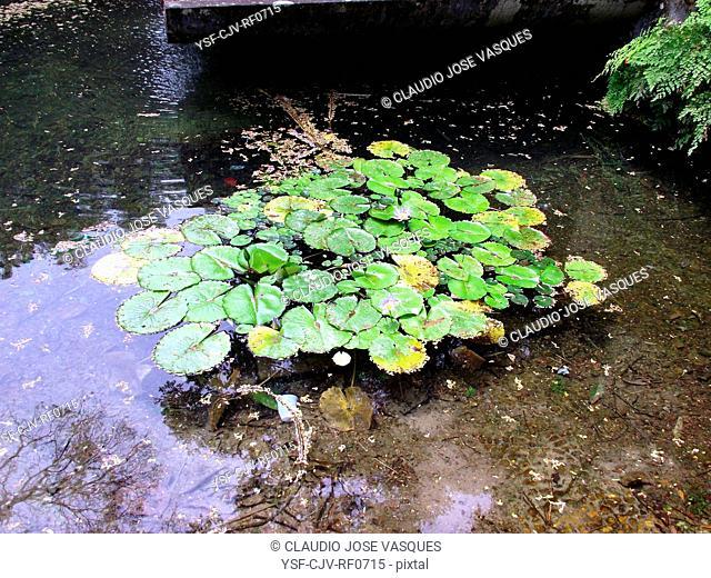 Plants, nature, flowers, Nymphaea, Nymph, aquatic plants, Botanical Garden, City, Rio de Janeiro, Brazil