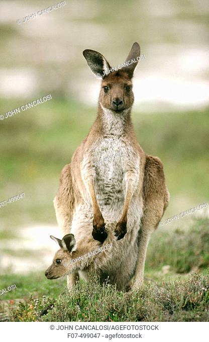 Western Grey Kangaroo (Macropus fuliginosus). Victoria, Australia