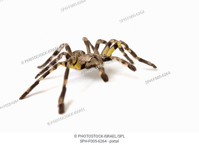 pet Tarantula spider On white Background