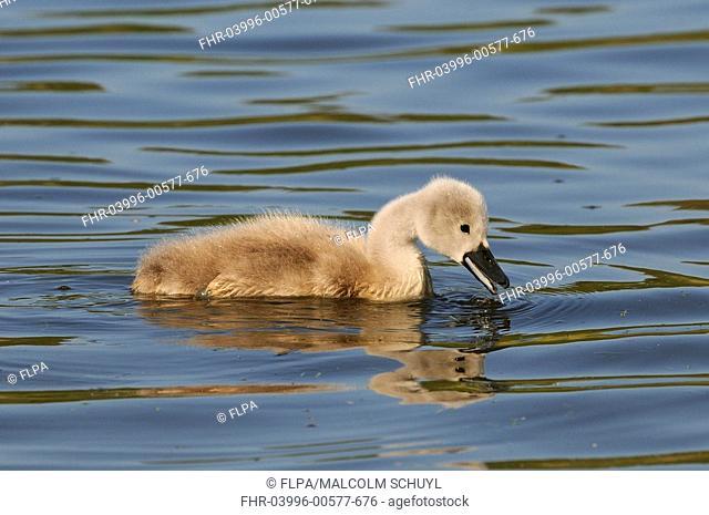 Mute Swan Cygnus olor cygnet, feeding on water, Abbotsbury, Dorset, England