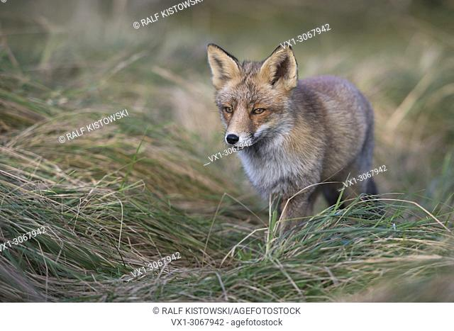 Red Fox ( Vulpes vulpes ) in nice winter fur, walking through high grass of a meadow, close frontal side view, wildlife, Europe