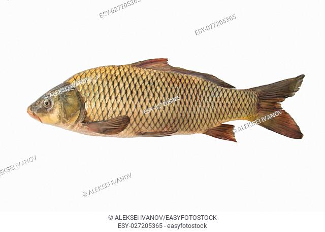 Big carp isolated, white background