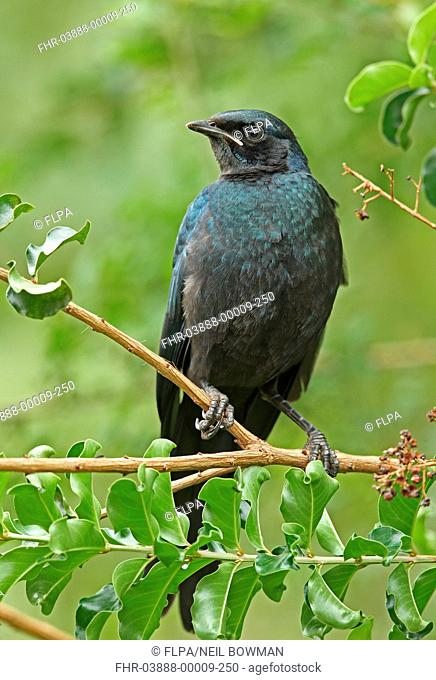 Burchell's Glossy-starling (Lamprotornis australis) juvenile, perched on twig, Kruger N.P., Great Limpopo Transfrontier Park, South Africa, November