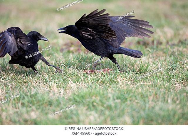 Carrion Crow Corvus corone, two on meadow fighting over food, Lower Saxony, Germany