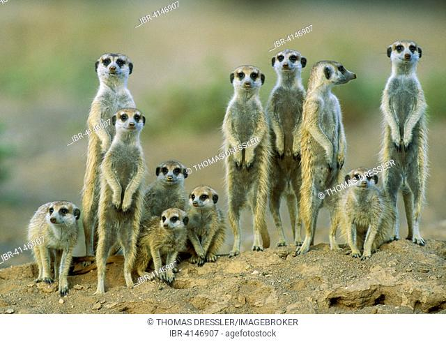 Suricates (Suricata suricatta), adults with young on the lookout at the edge of their burrow, Kalahari Desert, Namibia