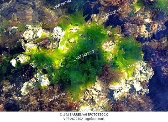 Sea lettuce (Ulva lactuca) is a green edible alga. Chlorophyta. Ulvales. Ulvaceae. Cabo Creus, Girona, Catalonia, Spain. Mediterranean Sea