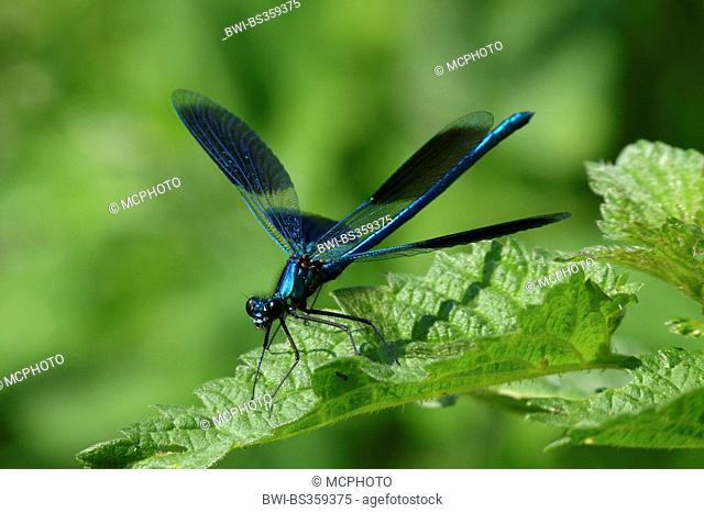 banded blackwings, banded agrion, banded demoiselle (Calopteryx splendens, Agrion splendens), flapping wings, Germany