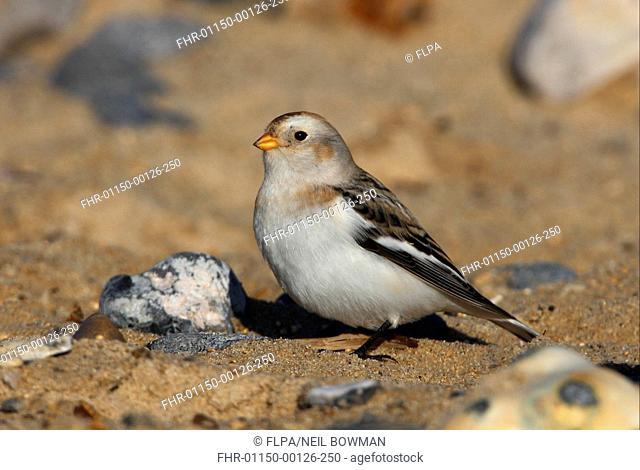 Snow Bunting Plectrophenax nivalis adult male, winter plumage, standing on sandy beach, Norfolk, England, november