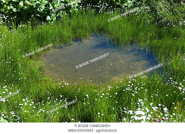 Nature, biotope, cottongrass, Eriphorum scheuchzeri