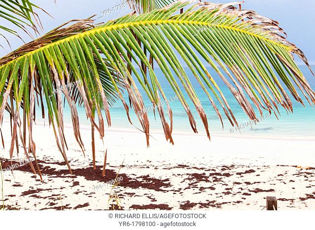 A palm frond hangs over the pink sands of Long beach Hope Town, Elbow Cay Abacos, Bahamas