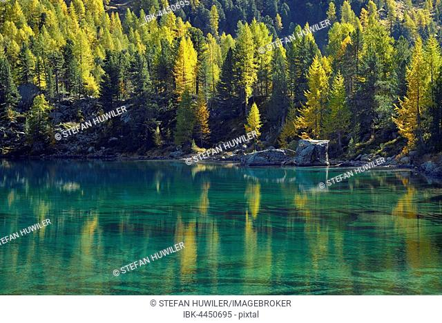 Lärchenwald, Larch Forest reflected in the Lago di Saoseo Lake, Val di Campo, Canton of Grisons, Switzerland