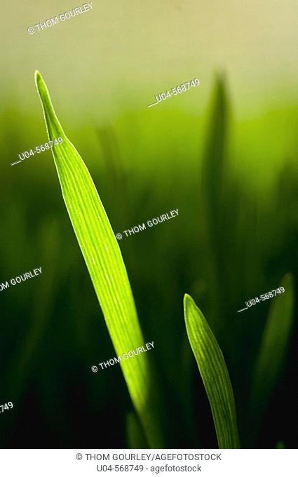 Blades of wheat grass