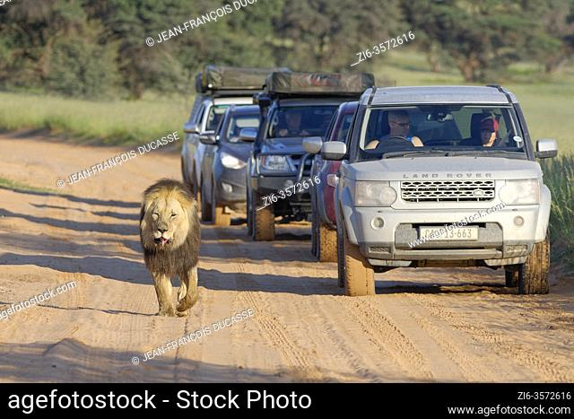Black-maned lion (Panthera leo melanochaita), old male with injured mouth, walking along a dirt road, followed by cars with passengers