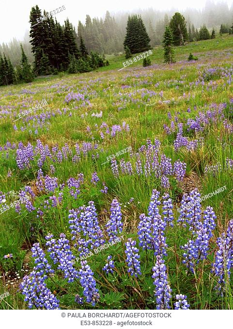Field of Subalpine Lupine, Sourdough Ridge Trail, Mt. Rainier National Park, Washington state, US