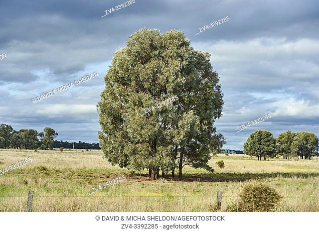 Landscape of a group of gum trees (eucalyptus) on a meadow in spring, Australia
