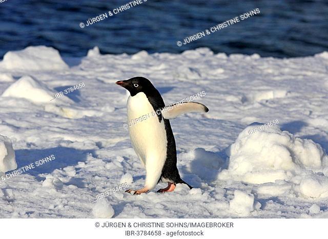Adélie Penguin (Pygoscelis adeliae), adult walking in the snow, Brown Bluff, Antarctica