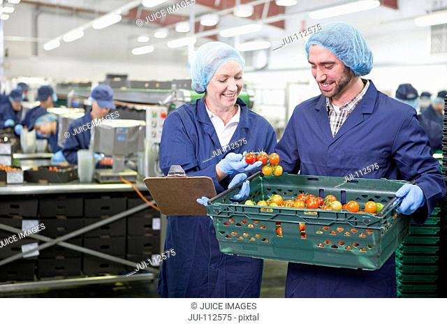 Quality control workers inspecting ripe vine tomatoes in crate in food processing plant
