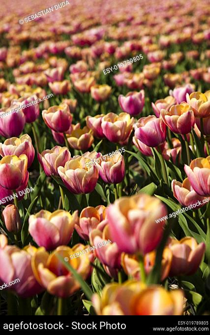 Fresh Beautiful Tulips