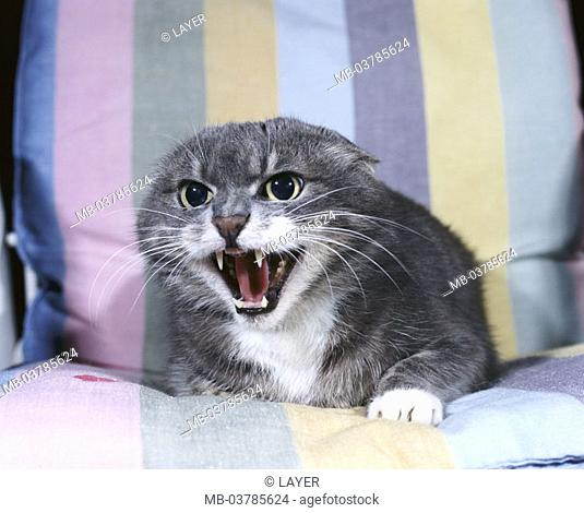 Cat, aggressively, threatens, fauchen,  Portrait  Cushions, animals, mammals, pet, house cat, gray-white, lie, facial expression, mouth frankly, ears