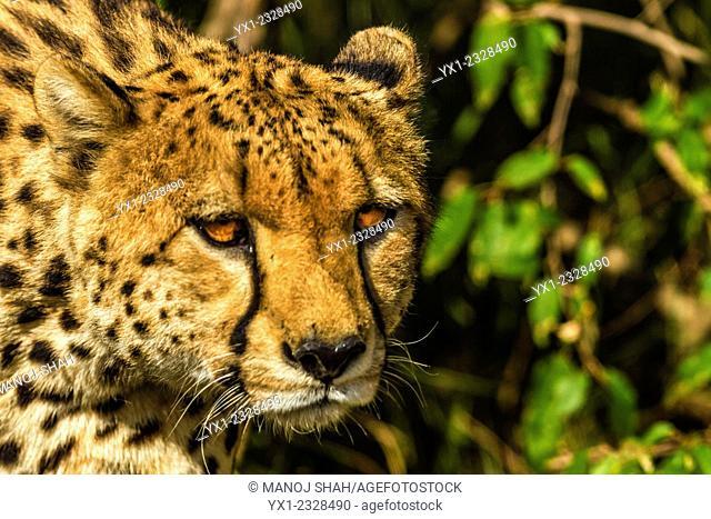 Cheetahs on the prowl for prey animals, Masai Mara National Reserve, Kenya