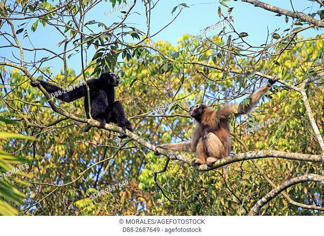 South east Asia, India,Tripura state,Gumti wildlife sanctuary,Western hoolock gibbon (Hoolock hoolock,pair howling