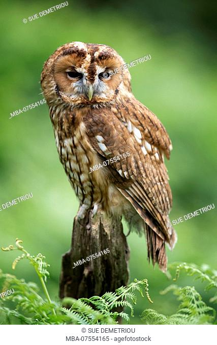 Young tawny owl, Strix aluco