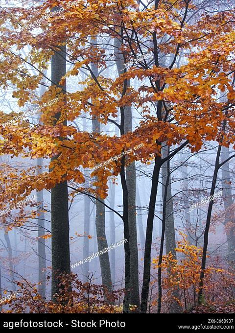 Foggy autumn beech forest at Pla del Rovirol site. Montseny Natural Park. Barcelona province, Catalonia, Spain