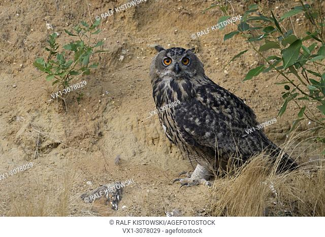 Eurasian Eagle Owl ( Bubo bubo ), sitting, resting under a bush in the slope of a sand pit, looks directly towards the photographer, wildlife, Europe