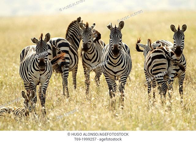 Great migration in Serengeti. The Grévy's zebra goes at the head of the migration. Equus zebra