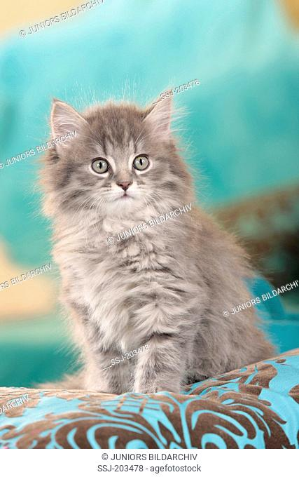 American Longhair, Maine Coon. Kitten sitting on a cushion. Germany