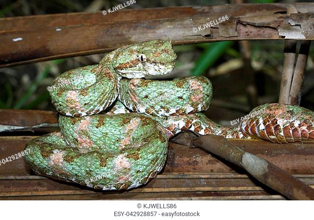 An eyelash viper (Bothriechis schlegelii) rests on a dead palm frond at night in Tortuguero National Park, Costa Rica