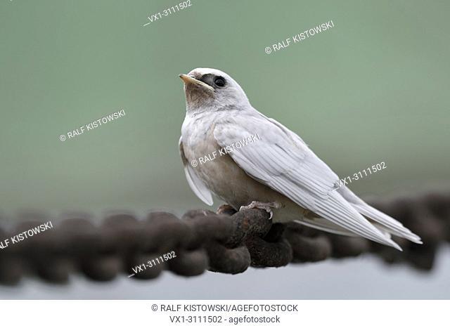 Barn Swallow / Rauchschwalbe ( Hirundo rustica ), just fledged, gene mutation, white plumage, leucistic, leucism, perched on a massive chain, side view