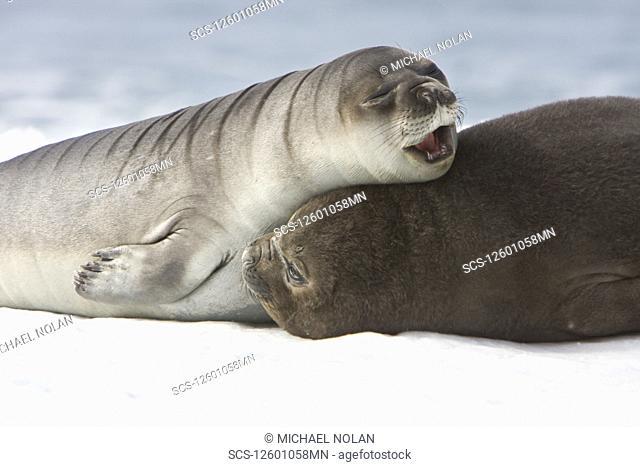 Newborn southern elephant seal Mirounga leonina on the beach at President Head on Snow Island in the South Shetland Island Group
