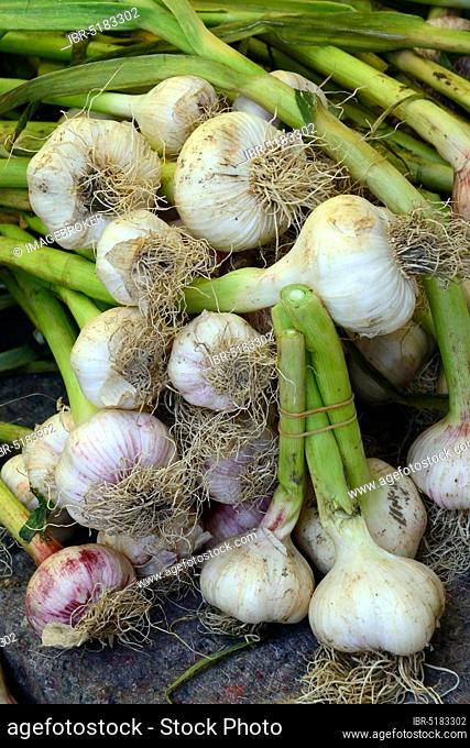 Garlic Bulbs (Allium sativum)