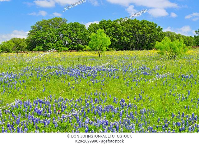 Roadside wildflowers along Threadgill Creek Road featuring Texas bluebonnets, Mason County, Texas, USA