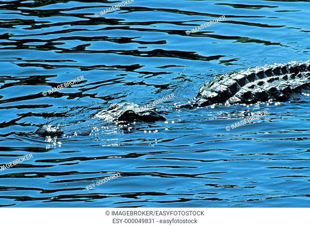 Alligator (Alligator missisipiensis)