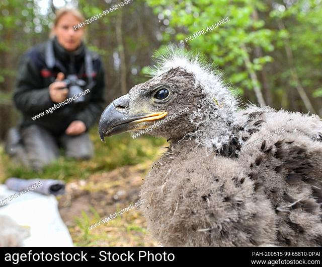 13 May 2020, Brandenburg, Sauen: A white-tailed eagle chick (Haliaeetus albicilla) sits on the forest floor in Sauener Forst