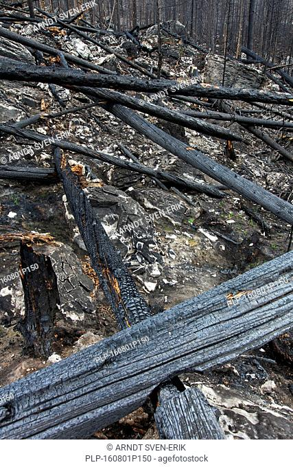 Charred tree trunks burned by forest fire, Jasper National Park, Alberta, Canada