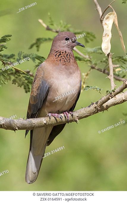 Laughing Dove (Streptopelia senegalensis), adult perched on a branch, Ayn Razat, Dhofar, Oman
