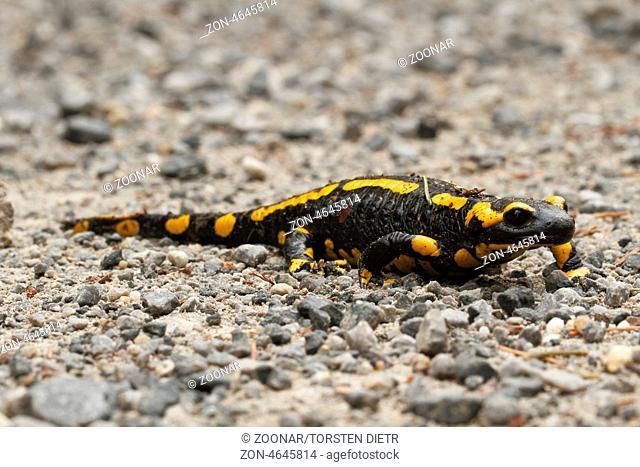 Feuersalamander (Salamandra salamandra ssp. terrestris)auf einer Kiesbank, im Gebirgsbach Ilse, im Harz Sachsen-Anhalt / Deutschland