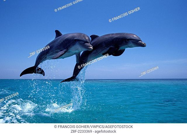 Bottlenose dolphin.Tursiops truncatus.Carribean. Off Roatan Island, Honduras, Central America
