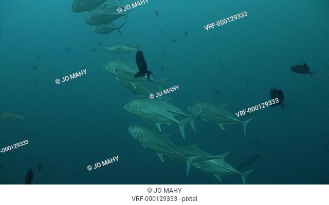 Jack fish. Maldives, Indian Ocean