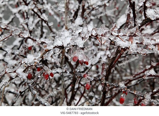Branches of a tree covered in ice after an ice storm in Toronto, Ontario, Canada. - TORONTO, ONTARIO, CANADA, 24/03/2016