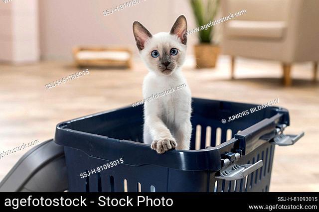 Siamese cat. Kitten in a pet carrier. Germany