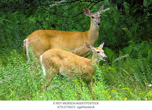 White-tailed Deer (Odocoileus virginianus) doe and fawn