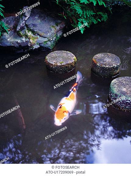 Japanese carp in pond of Japanese style garden, high angle view