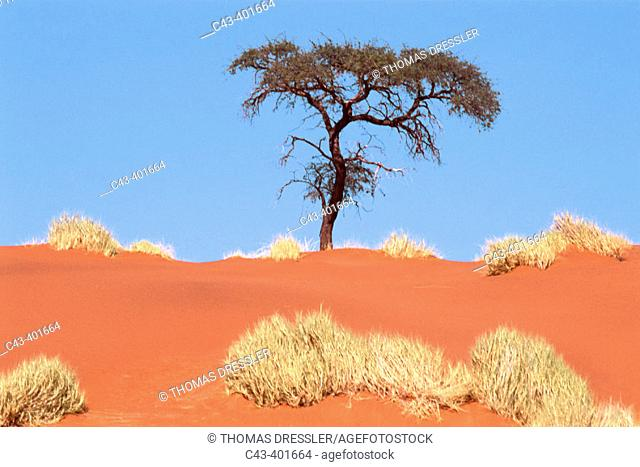 Landscape with Bushman grass (Stipagrostis sp.) and Camelthorn trees (Acacia erioloba), at the edge of the Namib desert. Namibia